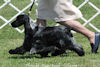 English Cocker Spaniels:Alice in motion at Delaware Valley ECS Specialty